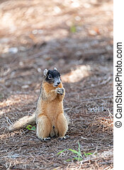 Fox squirrel Sciurus niger perches on the ground and eats a nut