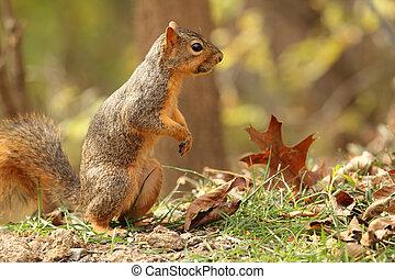 Fox Squirrel, Sciurus niger, standing on hind legs