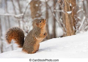 Fox Squirrel (Sciurus niger} - Fox squirrel (Sciurus niger)...