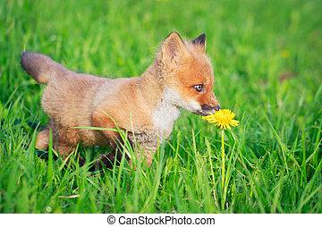 fox - red fox pup