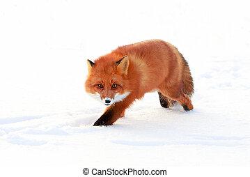 fox - red fox