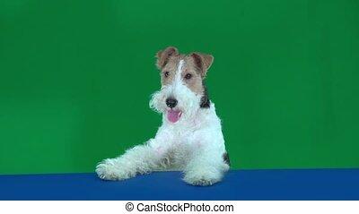 Fox terrier at the blue blank placard. Green screen - Fox...