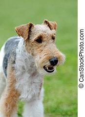Fox Terrier dog - Close Fox Terrier dog in green summer...