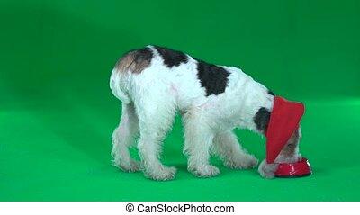 Fox terrier eats from a bowl. Green screen - Fox terrier in...