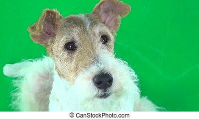 Fox terrier face close up. Green screen - Fox terrier furry...