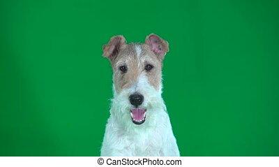 Fox terrier face close up. Green screen - Fox terrier looks...