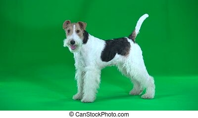 Fox terrier. Green screen - Trained fox terrier stands and ...