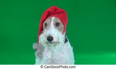 Fox terrier in a Christmas hat close-up. Green screen - Fox...