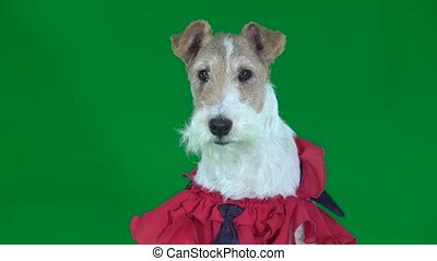Fox Terrier in a pink cape with a tie. Green screen - Fox...