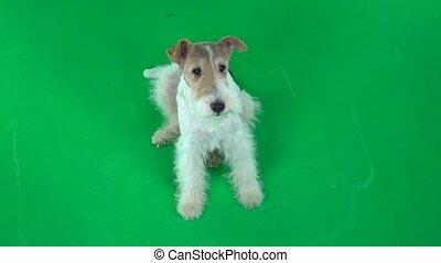 Fox terrier lies and looks uphill. Green screen - Furry fox...