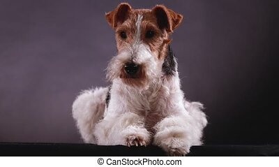 Fox Terrier lies in the studio on a gray black gradient background, front view. The dog in the studio demonstrates his skills. Close up