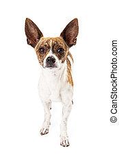Fox Terrier Mix Dog