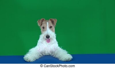 Fox terrier sits at the blue table, holding a blank placard...