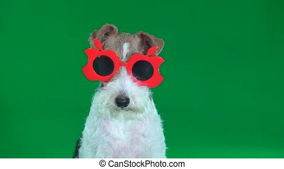 Fox terrier sits in red glasses close-up. Green screen - Fox...