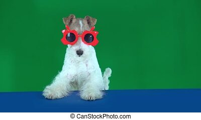 Fox terrier sits in red glasses, holding a blank placard...