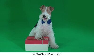 Fox terrier sits next to a gift. Green screen