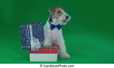 Fox terrier sits next to two gifts. Green screen