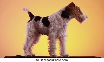 Fox Terrier stands in full growth in the studio on a black bedspread on a yellow orange gradient background. The dog wags its tail and turns its head. Close up