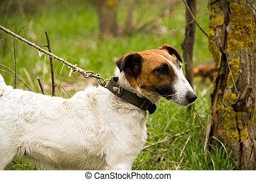 fox terrier - Smooth Fox Terrier nice on a leash