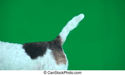 Fox terrier wagging tail. Green screen - White wagging tail...