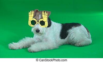 Fox terrier wallows in yellow glasses Green screen - Fox...