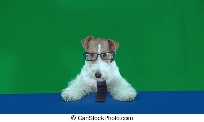 Fox terrier with glasses and tie. Green screen - Fox terrier...