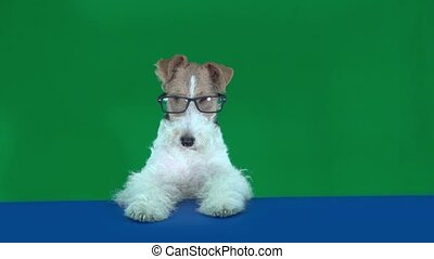 Fox terrier with glasses at the table, holding a blank...