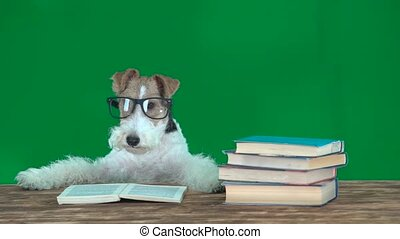 Fox terrier with glasses reading books. Geen screen - Fox...