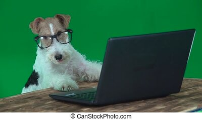 Fox terrier with glasses with a laptop. Green screen - Fox...