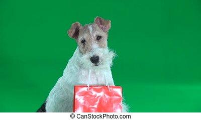 Fox terrier with orange bag closeup. Green screen - Fox...