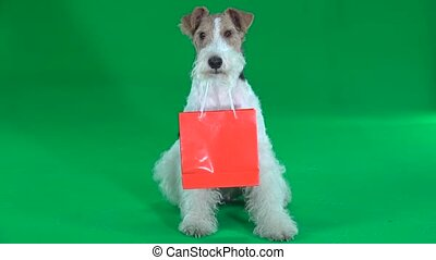 Fox terrier with orange bag. Green screen - Fox terrier...