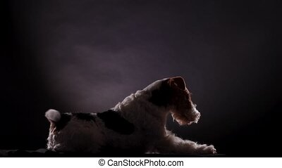 Fox Terrier, yawning from a sitting position, takes a position to lie on a gray black gradient background, side view. The dog in the studio demonstrates his skills. Close up
