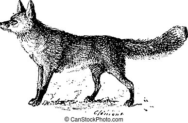 Fox, vintage engraving. - Fox, vintage engraved...