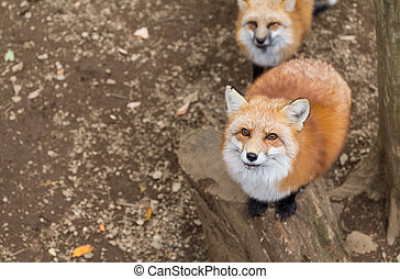 Fox want food