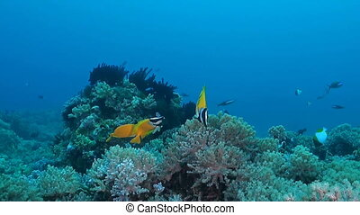 Foxface rabbitfish, Siganus vulpinus - Foxface & Rabbitfish...