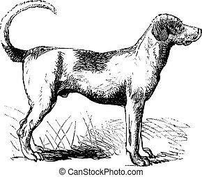 Foxhound or Canis lupus familiaris, vintage engraving. Old engraved illustration of a Foxhound.