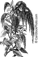 Foxtail amaranth or Amaranthus caudatus vintage engraving. -...