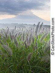 Foxtail Grass III