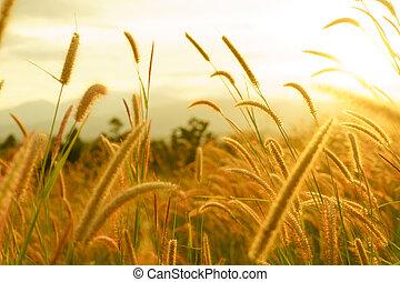 Foxtail grasses at sunset, Setaria viridis, selective focus.
