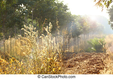 Foxtail weed grass flowers in nature golden light  background