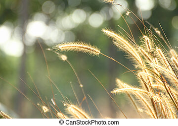 Foxtail weed grass flowers in nature golden light background...