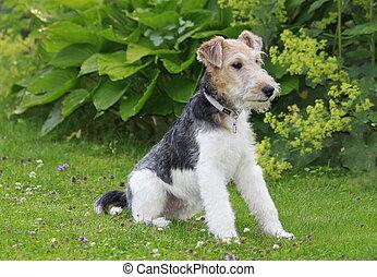 Foxterrier dog sitting in the garden - Foxterrier sitting in...