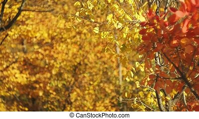 foyer., voyante, branches, wind., coloré, effect., forêt, feuilles, prise vue., arbre, bokeh, brouillé, automne, arrière-plan., multicolore, sélectif, feuillage, oscillation, pendre, bokeh., doux