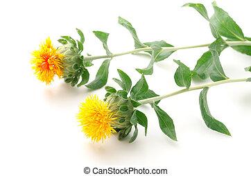 från sidan, två, safflower, blomningen