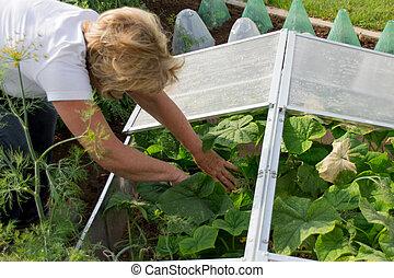 frío, marco, con, pepino, plantas
