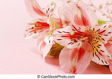 frühjahrsblumen, (alstroemeria), auf, a, rosafarbener hintergrund