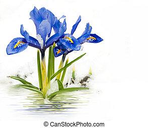 frühjahrsblumen, iris, auf, a, weißer hintergrund