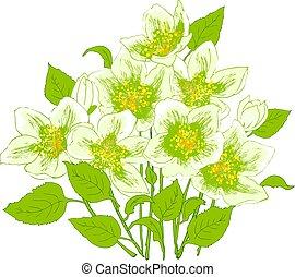 frühjahrsblumen, jasmin