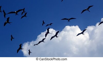 fragata flock of frigate birds flying group over blue sky...