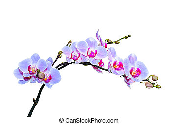 Fragile branch of vibrant purple blue colored orchids